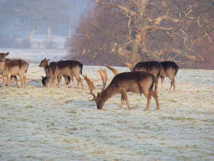 The fallow deer are a spectacular site alongside the birds at Parham