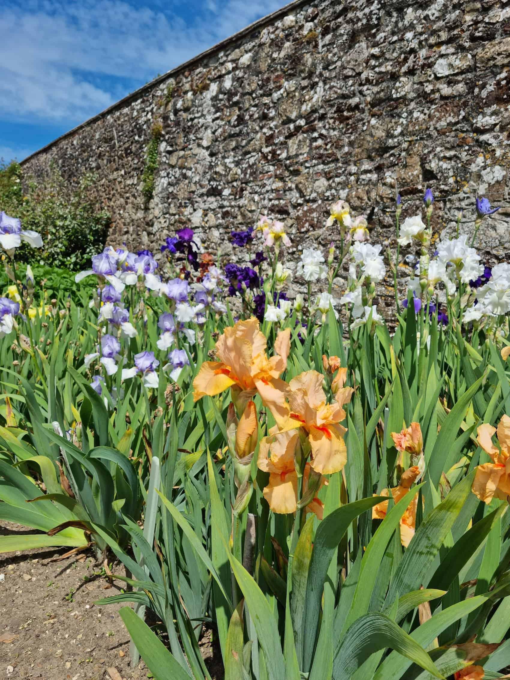 Irises in the Parham Walled Garden