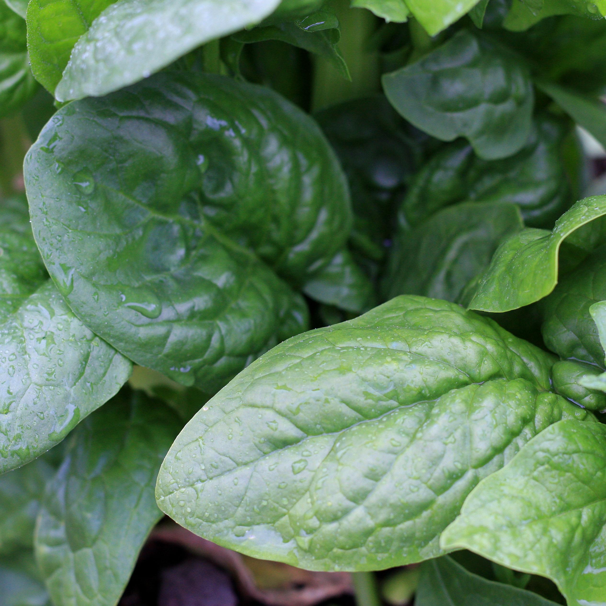 Parham_spinach